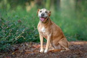 Daisy, a senior pit bull dog on a forest path