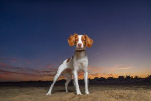A Brittany spaniel poses for her portrait in Virginia Beach