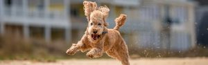 A happy poodle running on the beach