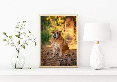 An elegant framed image of a senior boxer dog