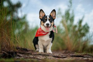 A corgi puppy poses in a forest background