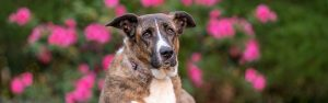 A shepherd mix dog with a floral background in downtown Norfolk, Virginia