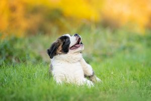 A St. Bernard puppy is loving the color of autumn in Norfolk Virginia