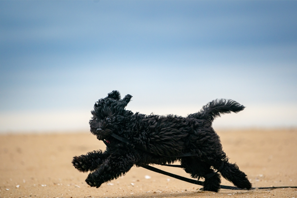 A puppy runs with a leash in her mouth at Sandbridge Beach in Virginia