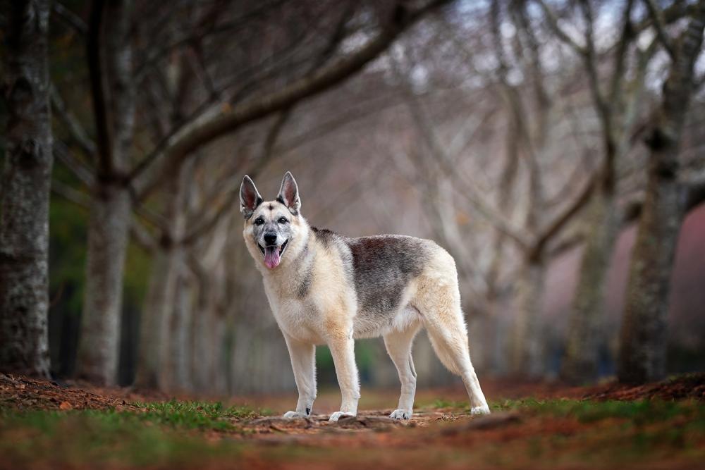 A German Shepherd Dog posing amid the trees in Virginia Beach
