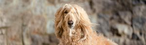 Skye, the Afghan hound, is a regal dog model
