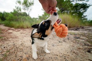A corgi dog plays tug with the pet photographer