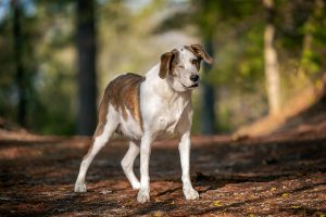 A handsome hound on the trails in Virginia Beach