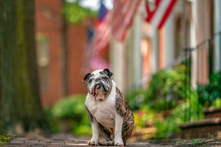 Kreautire the bulldog on an American flag lined street