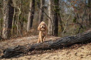 Rugby the poodle at First Landing State Park