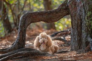 Poodle at First Landing State Park in Virginia Beach